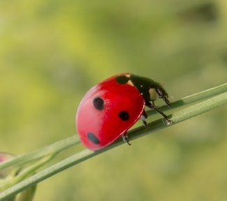 ladybug with black spots